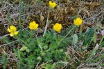 Renoncule bulbeuse (Ranunculus bulbosus) photo