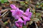 rhododendron de Laponie (Rhododendron lapponicum) photo
