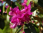 Rhododendron keleticum photo