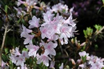 Rhododendron yunnanense photo