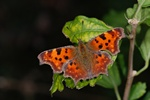 Robert-le-diable (Polygonia c-album) photo