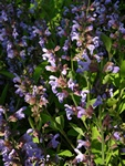 Sauge officinale (Salvia officinalis) photo