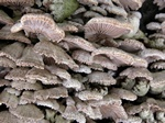 Schyzophylle commun (Schizophyllum commune) photo