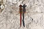 Sympetrum fonscolombii photo