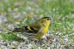 Tarin des aulnes (Carduelis spinus) photo