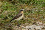 Traquet motteux (Oenanthe oenanthe) photo