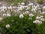 Trèfle blanc (Trifolium repens) photo
