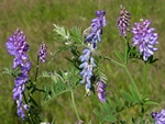 Vesce craquette (Vicia cracca) photo
