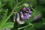 Vesce des haies (Vicia sepium) photo