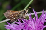 Virgule (Hesperia comma) photo