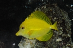 Zebrasoma flavescens photo