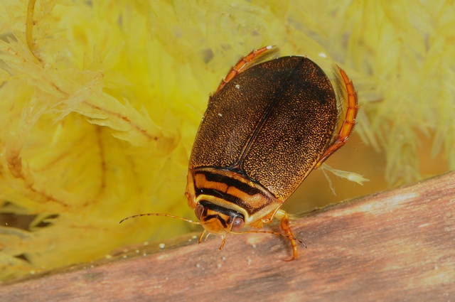 Acilius canaliculatus photo