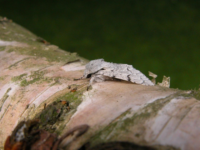 Acronicta leporina photo