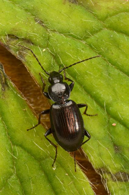Agonum fuliginosum photo