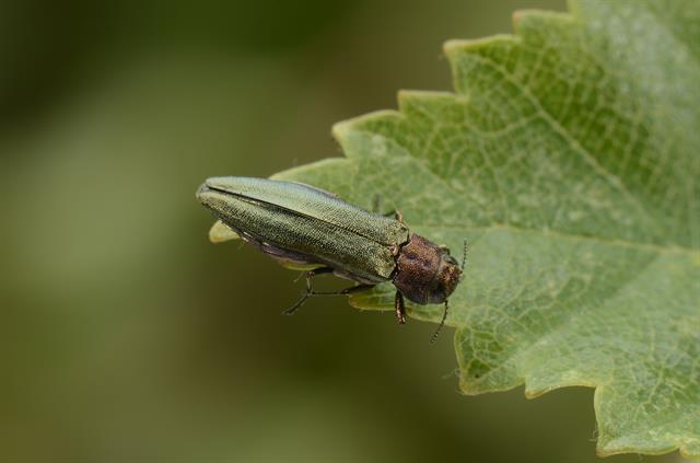 Agrilus viridis photo