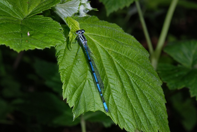 Agrion jouvencelle (Coenagrion puella) photo