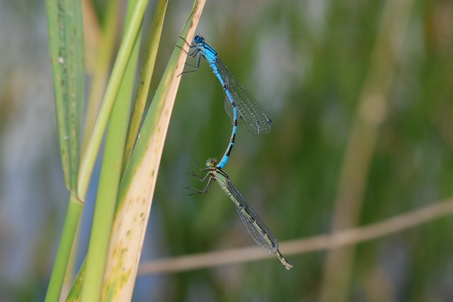 Agrion porte-coupe (Enallagma cyathigerum) photo
