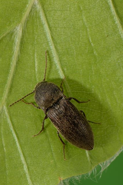 Agriotes obscurus photo