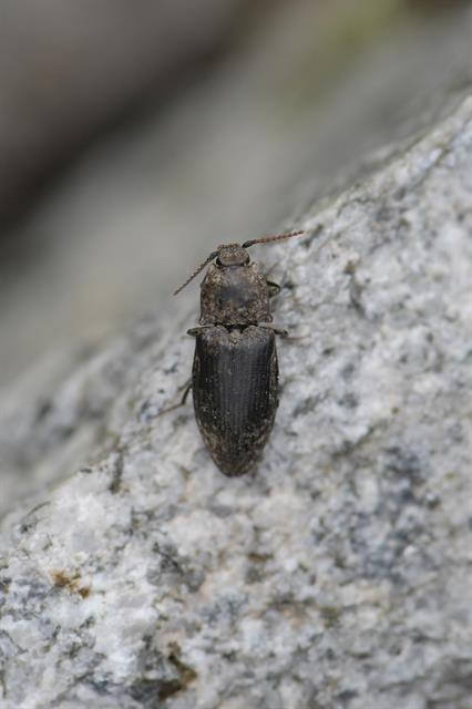 Agrypnus murinus photo