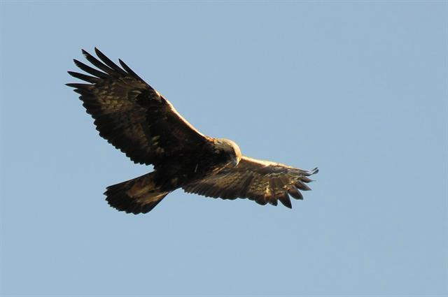 Aigle royal (Aquila chrysaetos) photo