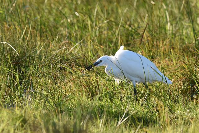 Aigrette garzette (Egretta garzetta) photo