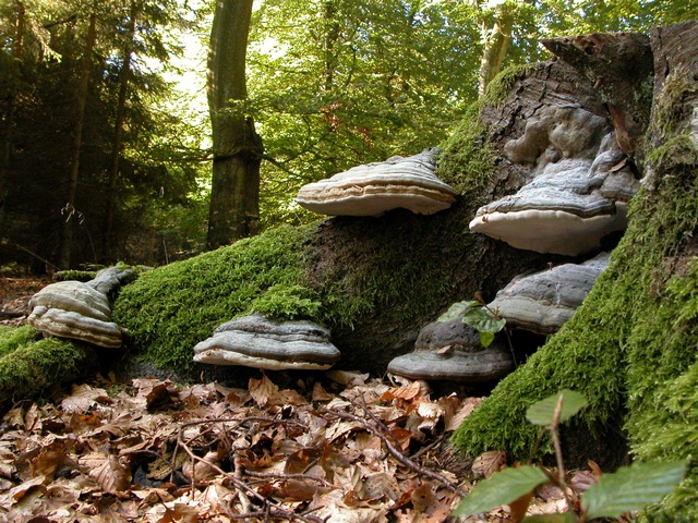 Amadouvier (Fomes fomentarius) photo