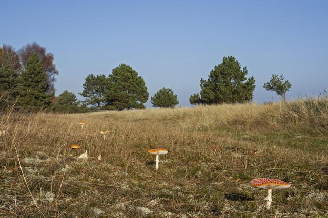 Amanite tue-mouches (Amanita muscaria) photo