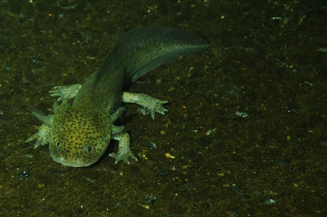 Ambystoma mexicanum photo