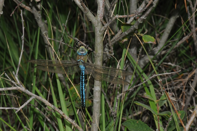 Anax imperator photo