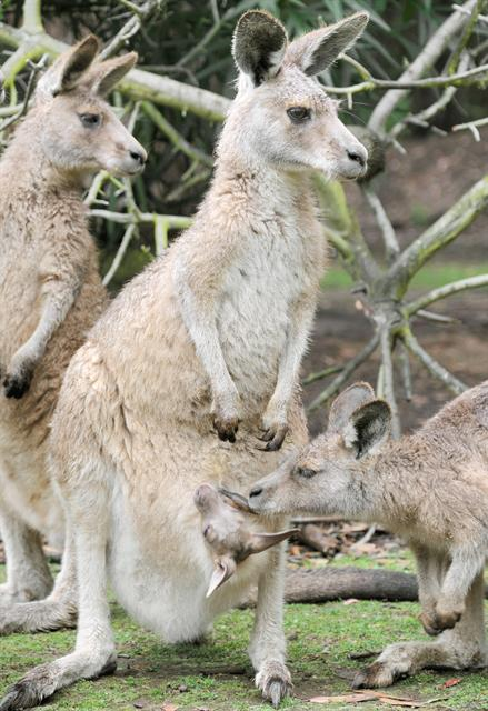 Macropus giganteus photo