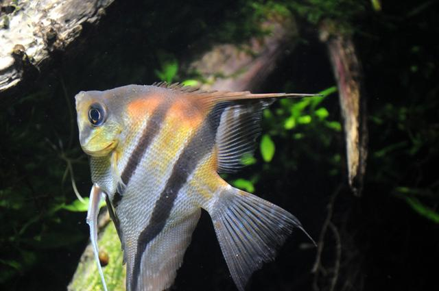Pterophyllum scalare photo
