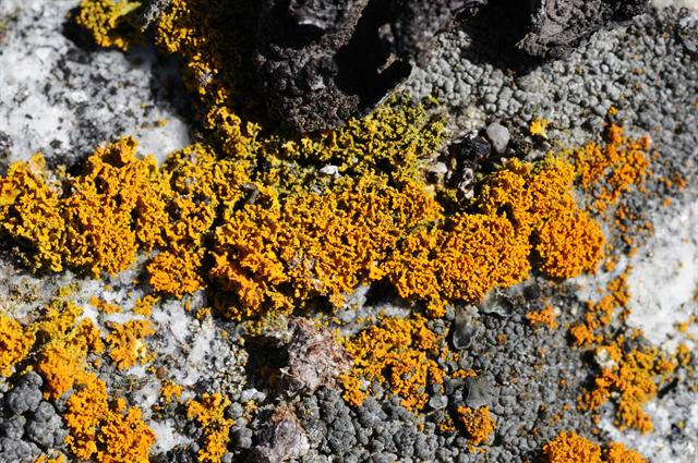 Xanthoria candelaria photo