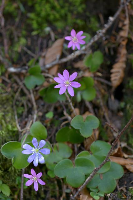Hépatique (Anemone hepatica)