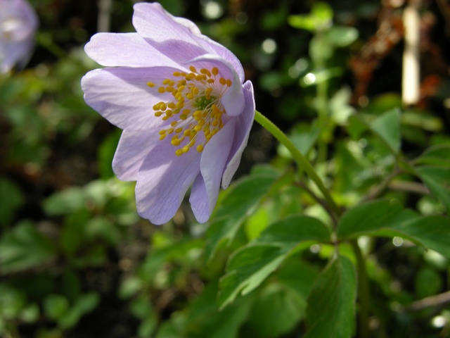 Anemone nemorosa (Robinsoniana) photo