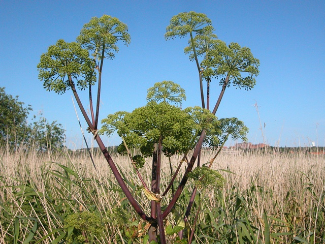 Angelica archangelica ssp. litoralis photo