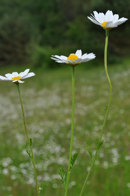 Anthémis fausse camomille (Anthemis arvensis) photo