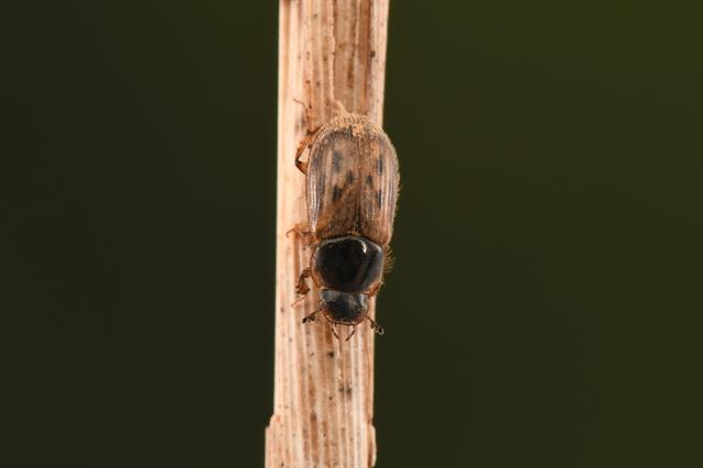 Aphodius contaminatus photo