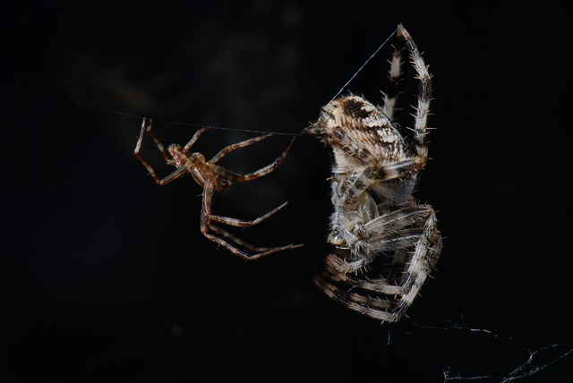 Araneus diadematus photo