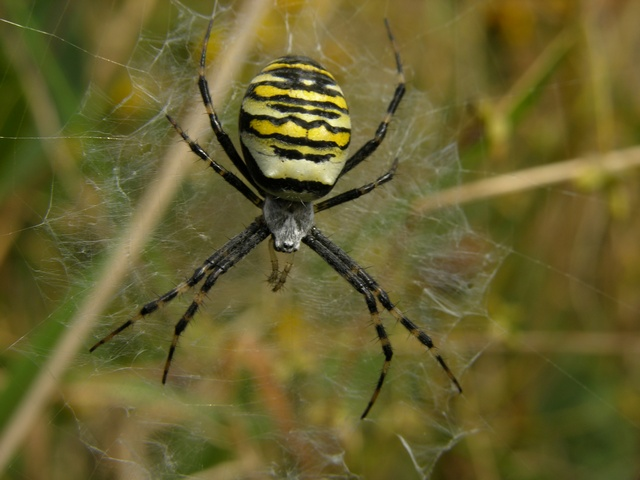 Argiope bruennichi photo