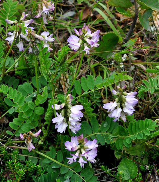 Astragale des Alpes (Astragalus alpinus) photo