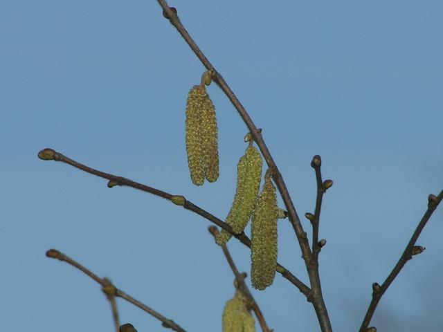 Avelinier, Nouzilier, Noisetier (Corylus avellana) photo