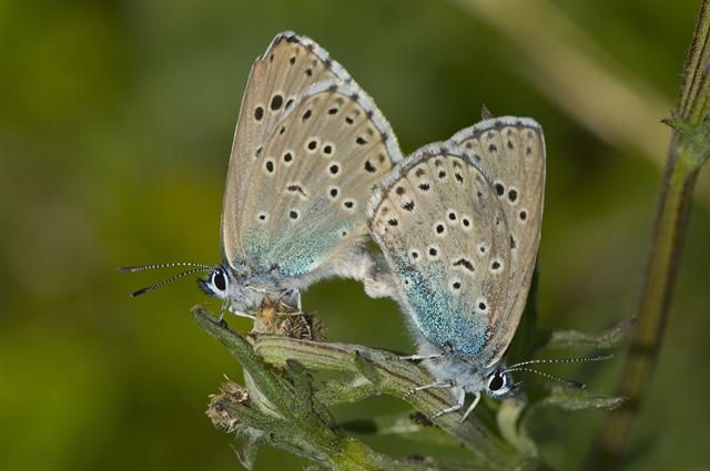 Azuré du Serpolet (Maculinea arion) photo