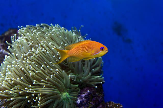 Barbier rouge (Pseudanthias squamipinnis) photo