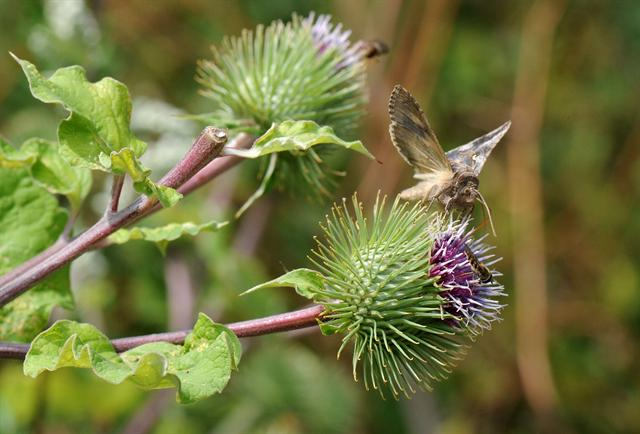 Bardane (Arctium lappa) photo