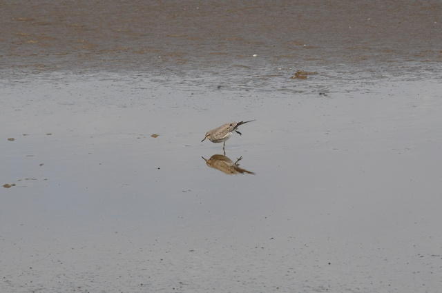 Bécasseau maubèche (Calidris canutus) photo