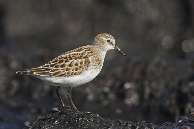 Bécasseau minute (Calidris minuta) photo
