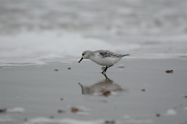 Bécasseau sanderling (Calidris alba) photo