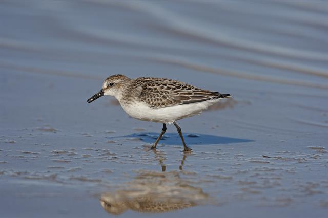 Bécasseau semipalmé (Calidris pusilla) photo