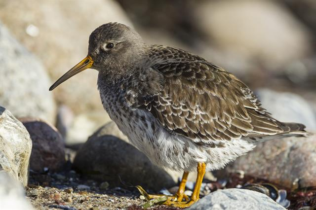 Bécasseau violet (Calidris maritima) photo