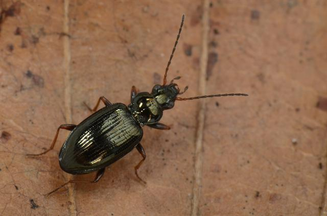 Bembidion deletum photo